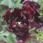 Blütenessenz SCHWARZE TULPE