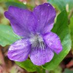Blütenessenz WALDVEILCHEN (Viola reichenbachiana)