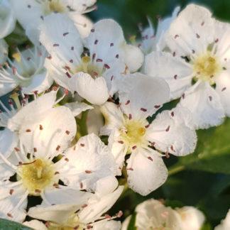 Blütenessenz WEISSDORN (Crataegus oxycantha)