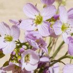 Blütenessenz WIESENSCHAUMKRAUT (Cardamine pratensis)