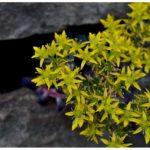 Blütenessenz SCHARFER MAUERPFEFFER (Sedum acre)