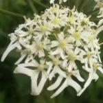 Blütenessenz BÄRENKLAU (Heracleum spondylium)