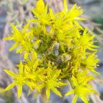 Blütenessenz FELSENMAUERPFEFFER (Sedum rupestre)