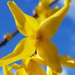 Blütenessenz FORSYTHIE (Forsythia intermedia)
