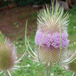 Blütenessenz WILDE KARDE (Dipsacus fullonum)