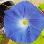 Blütenessenz PRUNKWINDE MORNING GLORY