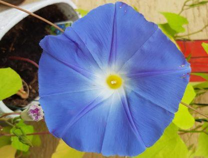 Blütenessenz PRUNKWINDE MORNING GLORY (Ipomoea cairica)