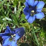 Blütenessenz BLAUER ENZIAN (Gentiana clusii)