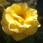 "Blütenessenz ROSE ""GLORIA DEI"" (Rosa hybrida)"