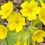 Blütenessenz SCHLÜSSELBLUME (Primula Vera)