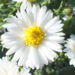 "Blütenessenz STRAHLENASTER (Aster novae anliae ""Sorte"")"