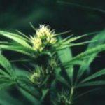 Blütenessenz HANF (Canabis hybrida)