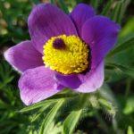 Blütenessenz KÜCHENSCHELLE (Pulsatilla vulgaris)