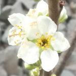 Blütenessenz PFLAUME (Prunus insititia)