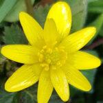 Blütenessenz SCHARBOCKSKRAUT (Ranunculus ficaria)