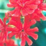 Blütenessenz LEIMKRAUT (Silene californica)