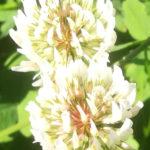 Blütenessenz WEISSKLEE (Trifolium repens)