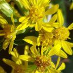Blütenessenz ECHTE GOLDRUTE (Solidago virgaurea)